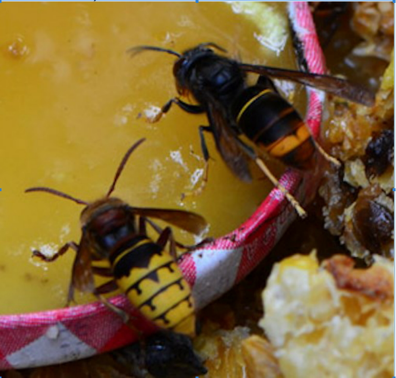 European and Asian Hornet