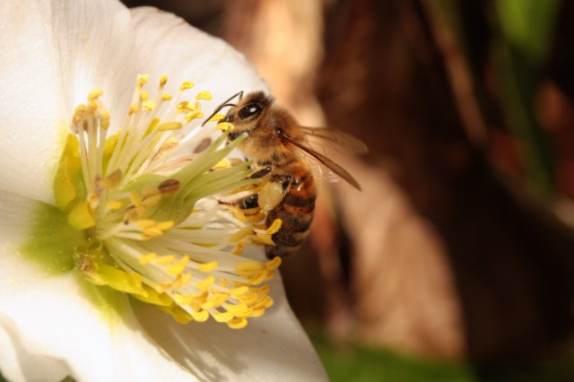 Bee on Hellebore